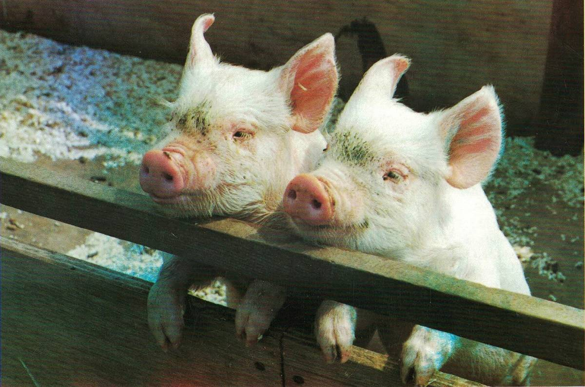 Middle White Pigs